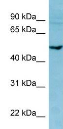Western blot - PDE7B  antibody (ab98094)
