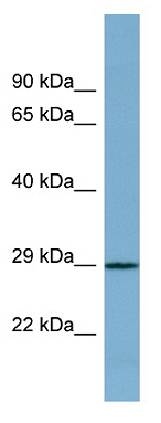 Western blot - PRR16 antibody (ab98099)