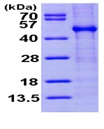 SDS-PAGE - FKBPL protein (ab98117)