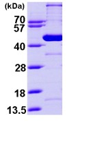 SDS-PAGE - GCDH protein (ab98118)