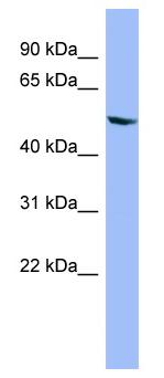 Western blot - Cytochrome P450 2D6 antibody (ab98137)