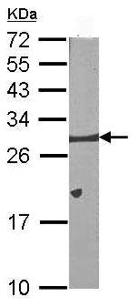 Western blot - Bcl x antibody (ab98143)