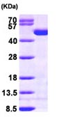 SDS-PAGE - Creatine Kinase BB protein (ab98146)