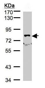 Western blot - SHKBP1 antibody (ab98148)