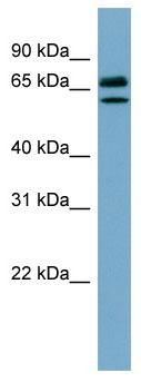 Western blot - Hsc70 antibody (ab98156)