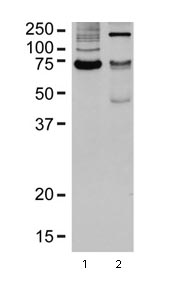 Western blot - Anti-Hsc70 antibody (ab98156)
