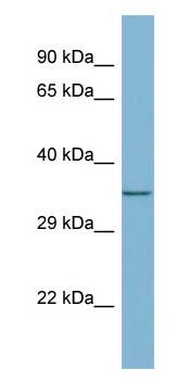 Western blot - MEMO1 antibody (ab98158)