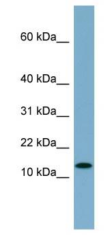 Western blot - RPS27L antibody (ab98161)