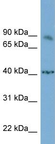 Western blot - NFAT2 antibody (ab98173)