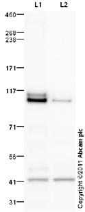 Western blot - RREB1 antibody (ab98174)