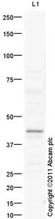 Western blot - Neuraminidase antibody (ab98178)