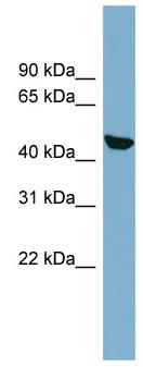 Western blot - C22orf28 antibody (ab98231)
