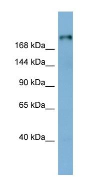 Western blot - Laminin beta 1 antibody (ab98232)
