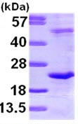 SDS-PAGE - DR1 protein (ab98246)