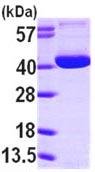 Western blot - Ogg1 protein (ab98249)