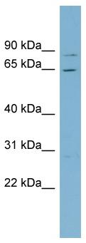 Western blot - RPA70 antibody (ab98266)