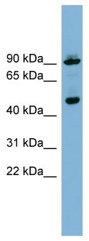 Western blot - WIPI1 antibody (ab98267)