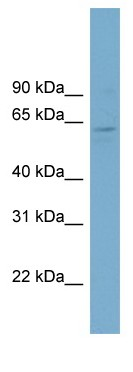 Western blot - FAM188B2 antibody (ab98270)