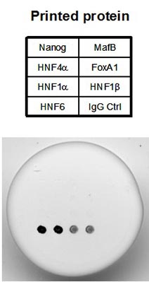 Dot Blot - HNF6 protein (ab98300)