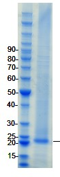 SDS-PAGE - Islet 1 protein (ab98303)
