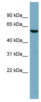 Western blot - FUCA1 antibody (ab98310)