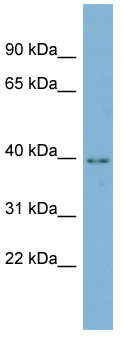 Western blot - C16orf48 antibody (ab98316)