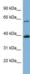 Western blot - Cytochrome P450 3A4  antibody (ab98319)