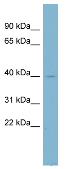 Western blot - NDUFA9 antibody (ab98325)