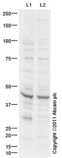 Western blot - GDF8 / Myostatin antibody (ab98337)