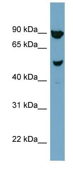 Western blot - IRX2 antibody (ab98349)