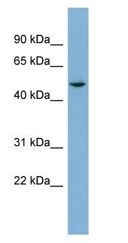 Western blot - epsilon Tubulin antibody (ab98833)