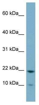 Western blot - PPPDE2 antibody (ab98836)