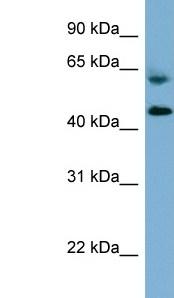 Western blot - RMND1 antibody (ab98850)