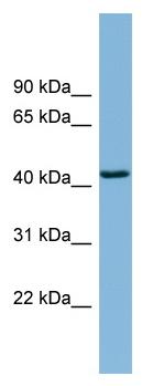 Western blot - DNAJB12 antibody (ab98869)