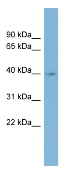 Western blot - IMPAD1 antibody (ab98881)