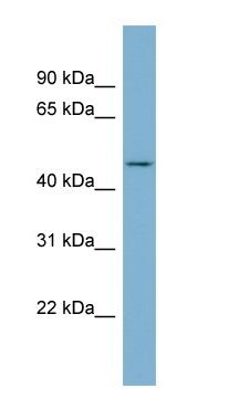 Western blot - ENOSF1 antibody (ab98910)