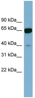 Western blot - ZNF169 antibody (ab98918)