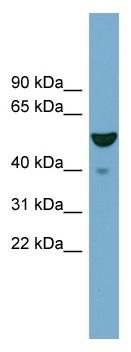 Western blot - FBX09 antibody (ab98936)