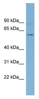 Western blot - HSF5 antibody (ab98939)