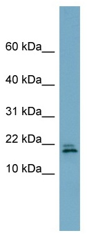 Western blot - C3ORF24 antibody (ab98940)