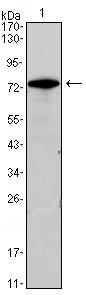Western blot - GATA3 antibody [7B5] (ab98956)