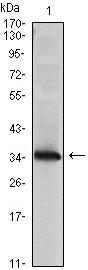 Western blot - NM23A antibody [4B2] (ab98963)