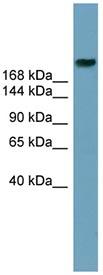 Western blot - ABCA12 antibody (ab98976)