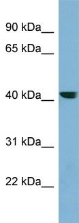 Western blot - PLEKHA9 antibody (ab99016)