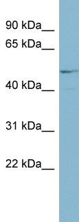 Western blot - ANGPTL3 antibody (ab99020)