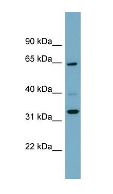 Western blot - ZNF791 antibody (ab99023)