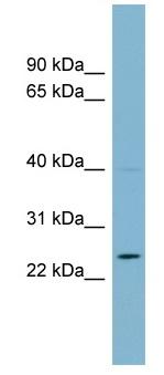 Western blot - C7ORF29  antibody (ab99034)