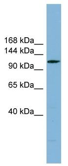 Western blot - C14orf104 antibody (ab99056)