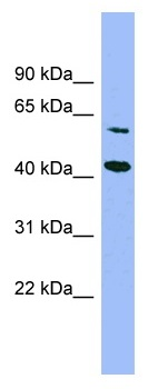 Western blot - GFOD1 antibody (ab99086)