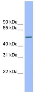 Western blot - MCSF antibody (ab99110)
